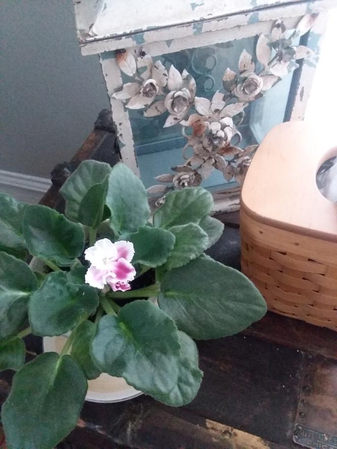 African Violet plant 06082018